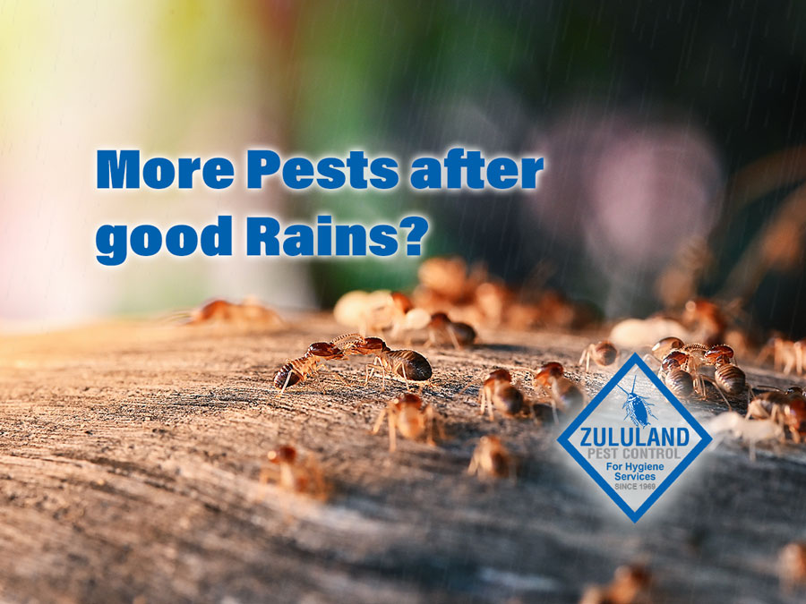 Pests and Spring rains