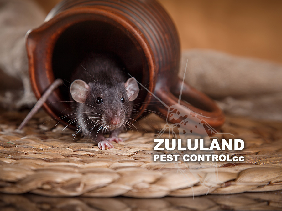 Rat Control in Winter Months